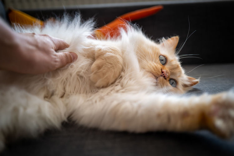 Birman Cat Cat Domestic Domestic Cat Mammal Domestic Animals Pets Feline One Animal Relaxation Indoors  Lying Down Vertebrate Close-up Selective Focus Furniture People Portrait Human Body Part Whisker Persian Cat  Birman Cat