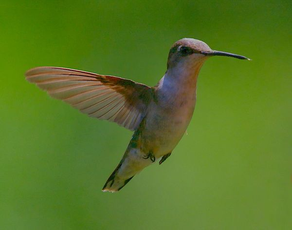 Animal Animal Themes Animal Wildlife Animals In The Wild Beak Bird Close-up Day Flapping Flying Focus On Foreground Green Color Hummingbird Mid-air Motion Nature No People One Animal Outdoors Spread Wings Vertebrate