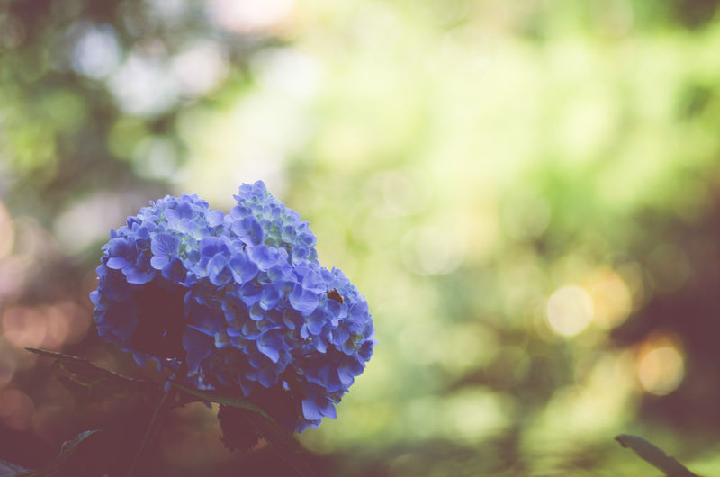 Close-up of blue hydrangea bunch blooming in garden