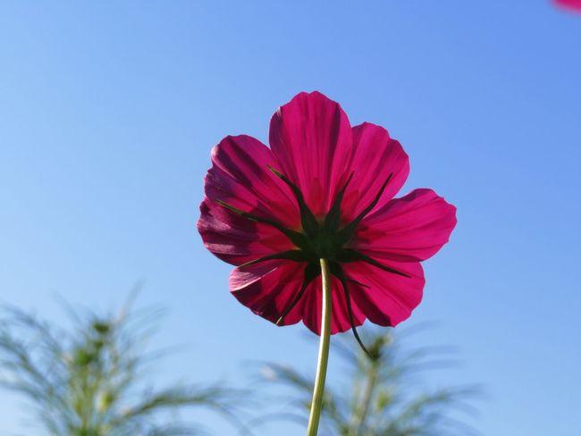 コスモス 秋桜 Cosmos Flower 花 Cosmos Flower