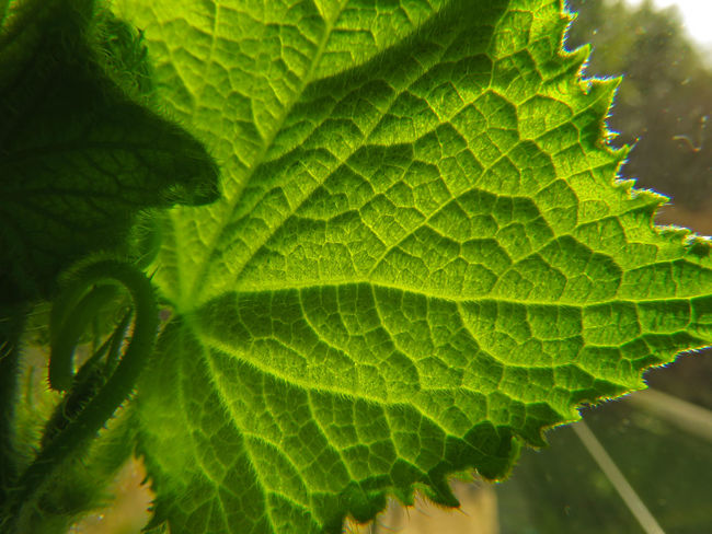 Close-up Cucumber Cucumber Plant Day Freshness Garden Garden Photography Gardening Green Color Green Color Growth Growth Leaf Leaf Vein Learn & Shoot: Simplicity Leaves Macro Macro Photography Nature No People Plant Summer Tranquility Window Sill Window View