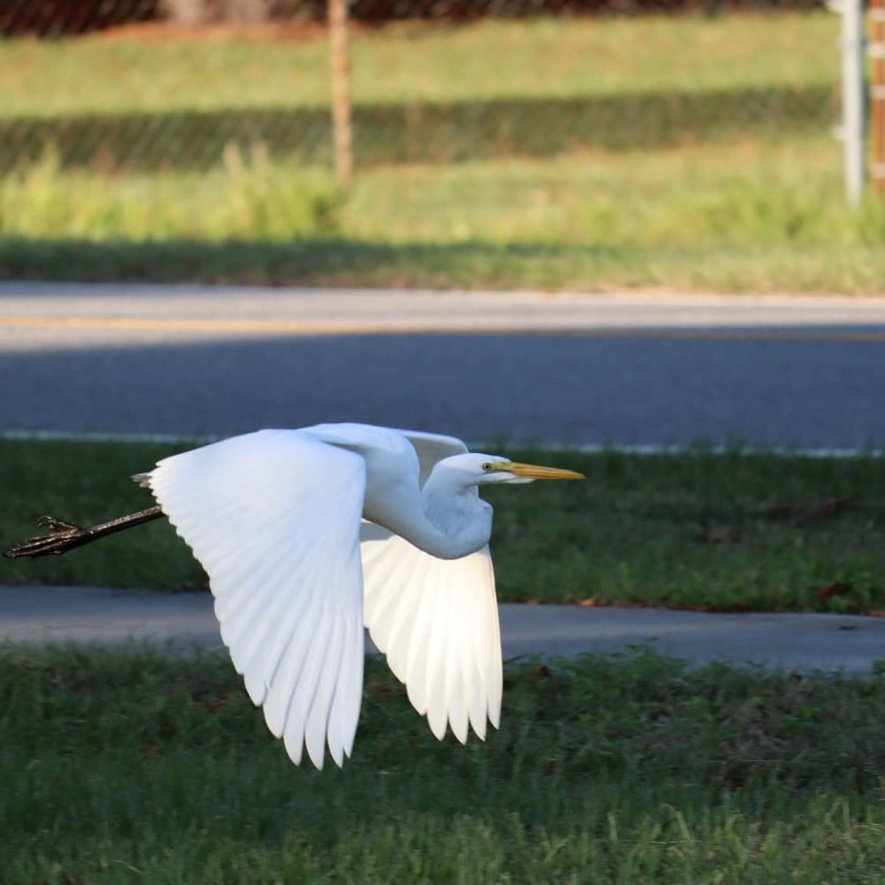 SIDE VIEW OF WHITE BIRD FLYING IN THE GRASS