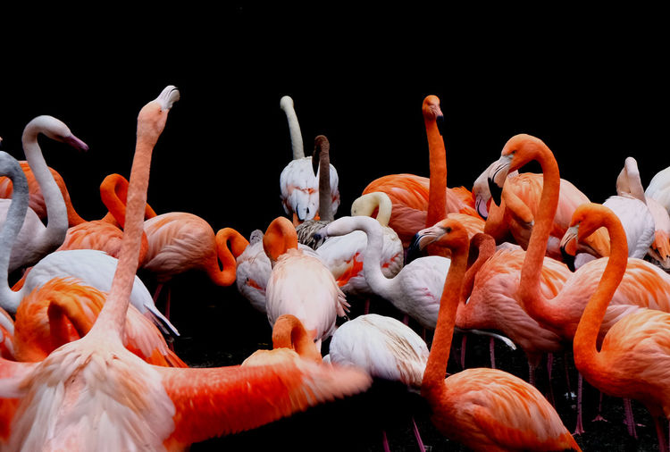 social club Zoo Flamingo Black Background Close-up Colony Water Bird Floating In Water Freshwater Bird Group Of Animals Feather  Tropical Bird My Best Photo
