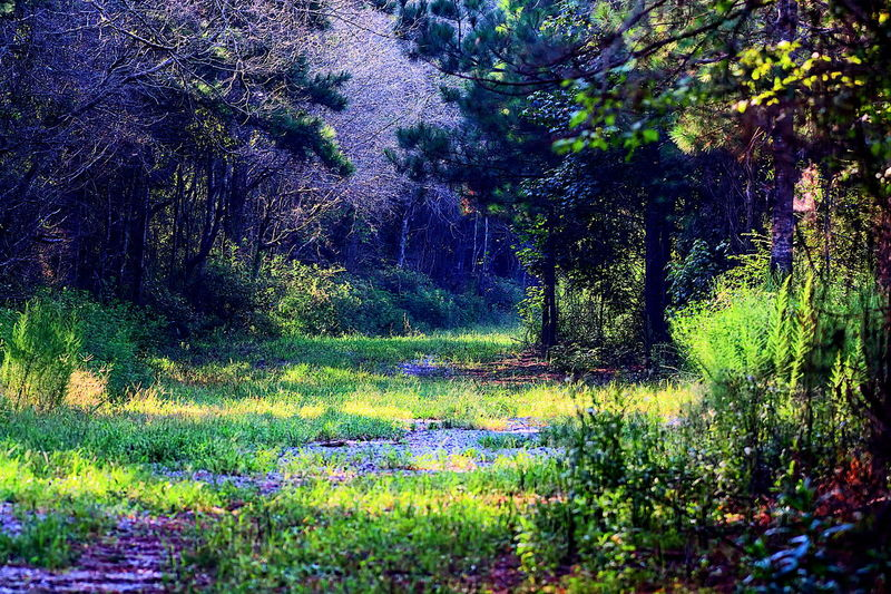 Landscape of Lowndes WMA Lowndes County Alabama Beauty In Nature Day Flower Foliage Forest Grass Green Color Growth Land Lowndes County Alabama Lush Foliage Nature No People Non-urban Scene Outdoors Plant Purple Scenics - Nature Tranquil Scene Tranquility Tree Wma WoodLand