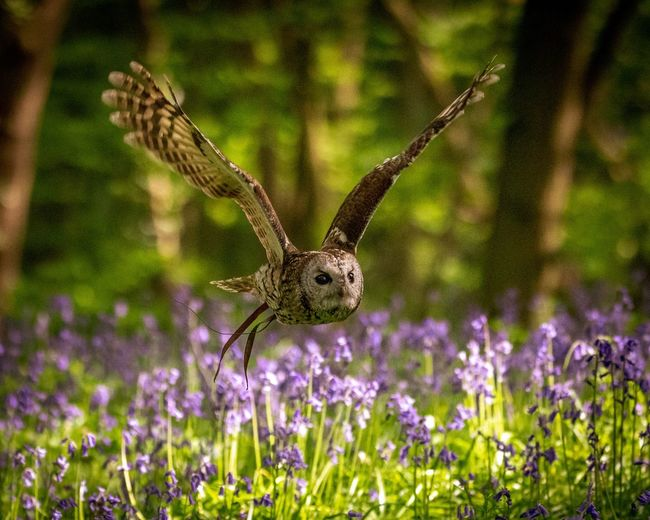Tawny Owl in Flight Woods Bluebells Tawny Owl Plant One Animal Animal Themes Animals In The Wild Animal Flower Flowering Plant Invertebrate No People Beauty In Nature Close-up Animal Wildlife Focus On Foreground Nature Growth Insect Fragility Day Purple Outdoors