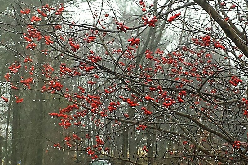 Yardpic Mainephotography Nature Photography Water_collection Nature_collection Eyeemnaturelover Raindrops Rainy Day Waterdrops Washington Hawthorn Berries Red Berries