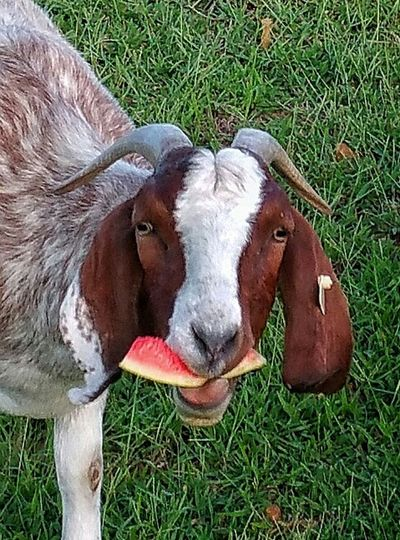 Fiona, aka Fi Fi, munching on some summer watermelon. Boer Goat Eating Juicy Watermelon Eye4photography  EyeEm Gallery Sweet Fruit Hanging Out Enjoying Life Home Sweet Home People Watching Me Home Is Where The Art Is Something To Call My Own