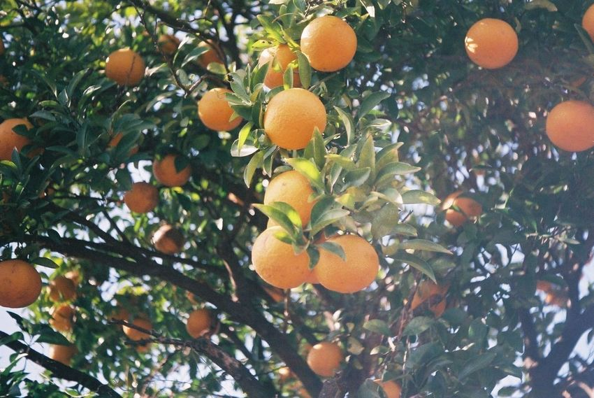Pentax SpII FujicolorC200 Tree Fruit Leaf Orange Tree Citrus Fruit Orange Color Orange - Fruit Close-up Fruit Tree