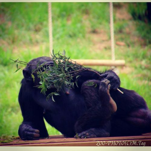 ZOO-PHOTO Zoo Animals 多摩動物公園 チンパンジー 顔を隠してセクシーポーズ?