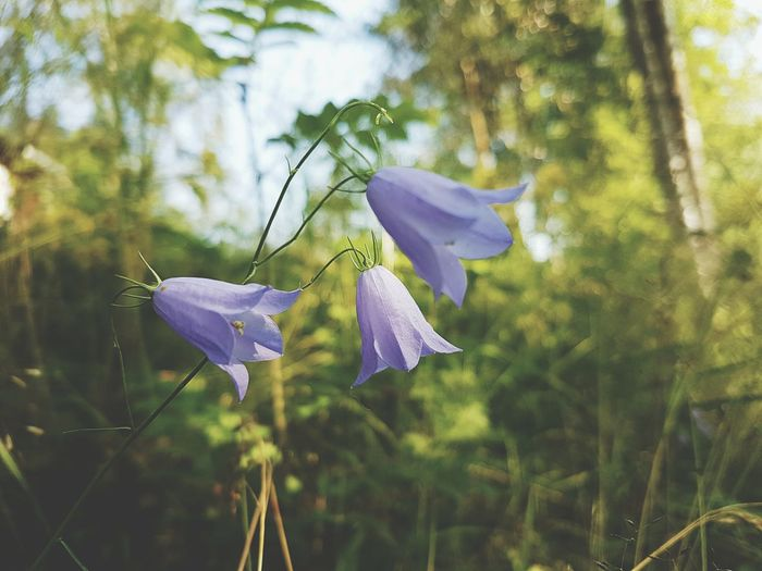 Blåklockor Campanula Rotundifolia Flower Collection Blue Flowers Nature_collection Flowers