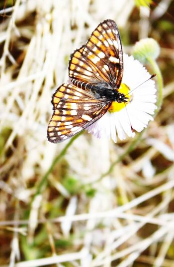 Butterfly - Insect Insect Nature Close-up Flower One Animal Fragility No People Animals In The Wild Outdoors Beauty In Nature Day Spread Wings Flower Head Freshness Perching
