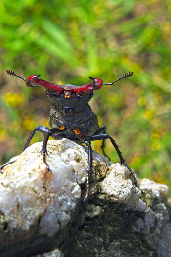 le LUCANE ou CERF-VOLANT ! (Lucanus cervus, Coléoptère Lucanidae) Animal Antenna Animals In The Wild Beetle Beetle Insect Nature Close-up Coléoptère Day Focus On Foreground Insect Invertebrate Nature No People One Animal Outdoors Rock Selective Focus Zoology
