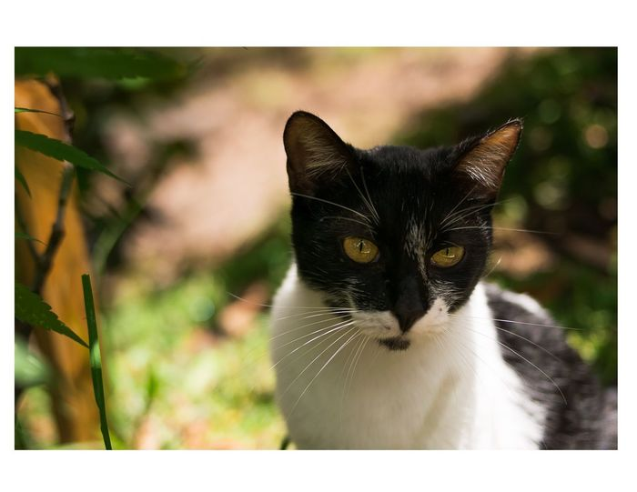Pets Domestic Animals Domestic Cat One Animal Animal Looking At Camera Animal Themes Portrait Feline Outdoors Mammal Cute No People Nature Day