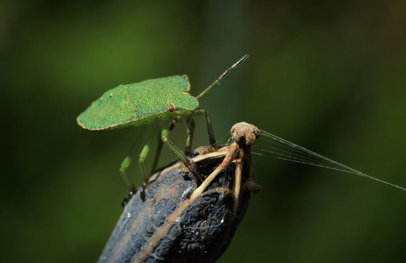 Close-up of green stink bug on plant
