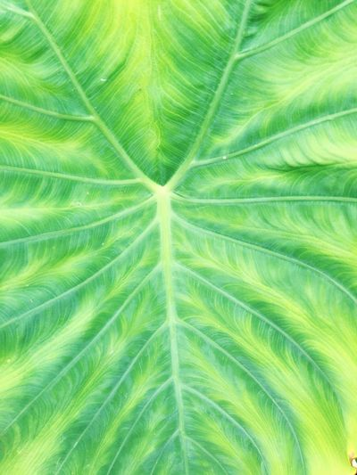 Elephant Ear Plant Elephant Ears Plant Leaf Leaf Vein Green Pattern Textures And Surfaces Texture Nature Backgrounds Full Frame Green Color Natural Pattern Close-up Vibrant Color IPhoneography Iphoneonly IPhone Growth Freshness Botany
