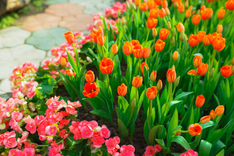 Tulips in the garden. Flowering Plant Flower Freshness Plant Beauty In Nature Fragility Growth Petal Red Close-up Green Color Tulip Outdoors Springtime Ornamental Garden Field Garden Orange Color No People Nature