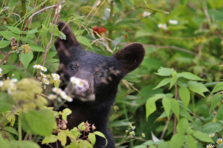 """""""Hello?"""" Black Bear in Great Smokey Mountain National Park Animal One Animal Animal Themes Mammal Plant Black Color Vertebrate No People Animal Wildlife Nature Animals In The Wild Day Portrait Tree Plant Part Land Green Color Leaf Outdoors Looking At Camera Animal Head  Black Bear Great Smokey Mountain National Park"""