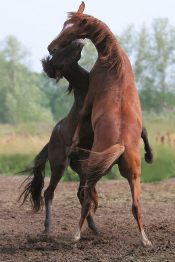 Horse fighting on land