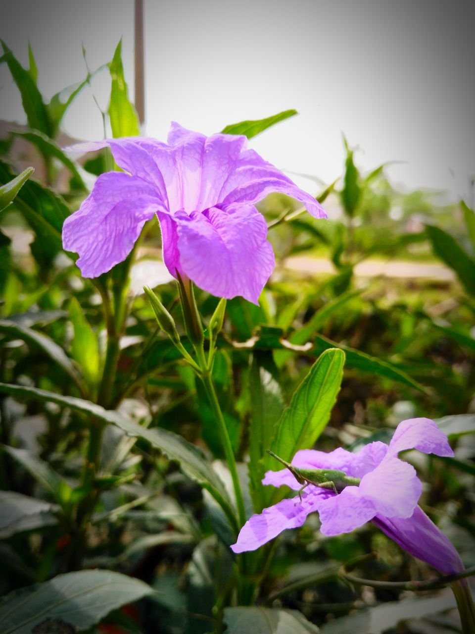flower, petal, fragility, growth, freshness, purple, beauty in nature, flower head, nature, blooming, plant, day, close-up, outdoors, leaf, no people, petunia, periwinkle, crocus
