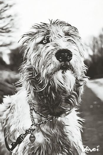 Dog Pets Domestic Animals Outdoors Blackandwhite Monochrome Cearnaigh Irish Wolfhound Dogslife Dogs Of EyeEm Dog Of The Day Dogwalk Dogs Of Winter Vinci App Animal Head  Looking At Camera Eyes Are Soul Reflection Portrait Take A Walk Showcase February 2017 Winter 2017 February 2017 Animal Themes