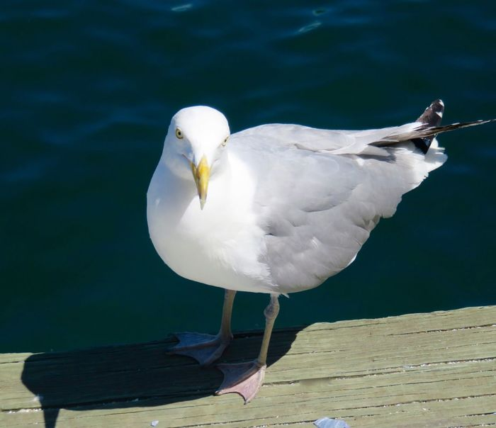Only in Boston could a seagull have this much attitude. Photographed on the docks of the Seaport district, where he was hoping for a treat from the fishing boats unloading. Attitude Beauty In Nature Bird Photography Boston Boston Harbor Boston Water Front Close-up Day Dock Feather  Focus On Foreground Glaring Harbor Intense Looking At Camera Nature No People Outdoors Seagull Seagulls And Sea Seaport District South Boston Tranquility White White Color