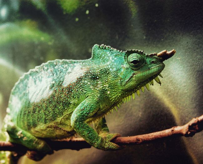 Chamäleon im Zoo von Fort Worth Animalphotography Animal Zoophotography Zoo Chameleon One Animal Reptile Animal Themes Animal Lizard Green Color Animal Wildlife Close-up No People Side View