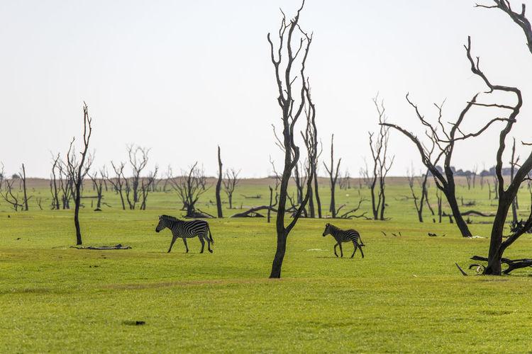 View of zebra on grassy field