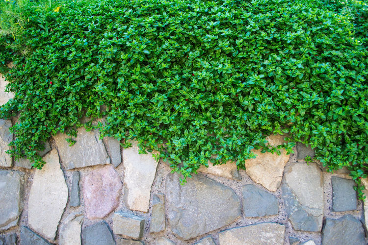 Backgrounds Creeper Plant Day Grass Green Color Growth High Angle View Ivy Leaf Nature No People Outdoors Plant