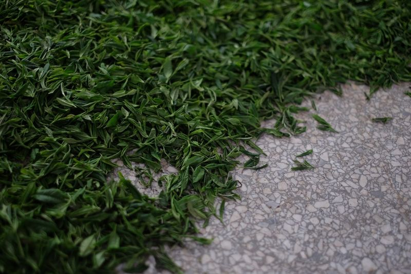 Tea Tea Process Green Color Plant Growth No People Nature High Angle View Day Grass Footpath Moss Freshness Selective Focus Beauty In Nature Plant Part Leaf Outdoors Close-up Tranquility Field Land