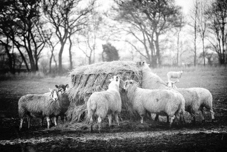 Hungry girls! Nature Sheep Autumn Blackandwhite