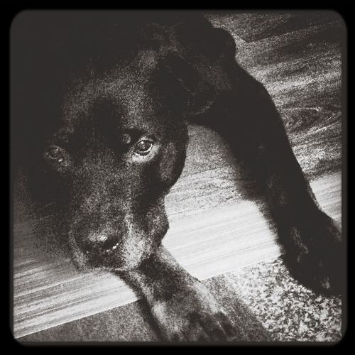 Rottweiler Dog ,Rottweiler My Dog