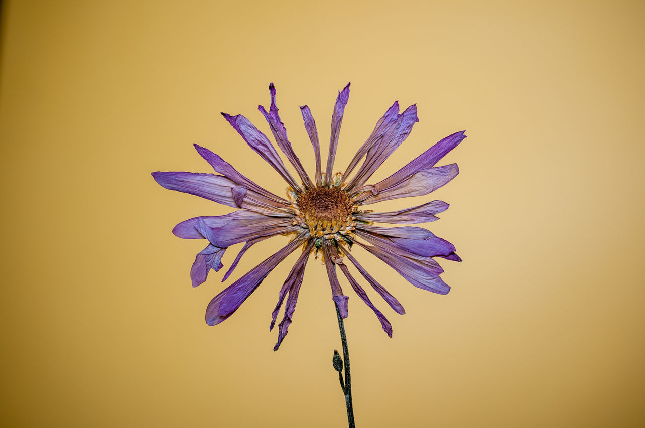 Close-Up Of Purple Flower Against Yellow Background