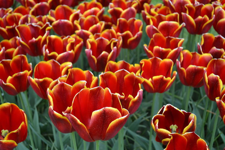 Close-up of red tulips on field