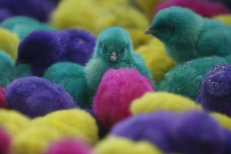 Colorful chickens in Indonesia. Bird Animal Animal Themes Close-up Chicken - Bird Young Bird Multi Colored Domestic Animals No People Baby Chicken Easter Selective Focus Vertebrate Young Animal Livestock Group Of Animals Pets Domestic Indoors  Full Frame Softness