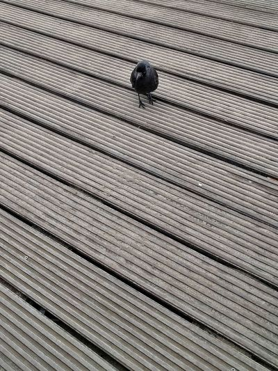 Pattern Full Frame No People Backgrounds Textured  Day Indoors  Nature Bird Bird Photography Black Bird Jackdaw Nature Boardwalk Lines Lines And Angles Diagonal Lines Diagonals Tame Animals Tame Bird
