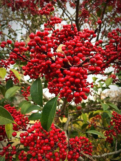 Red Fruit Growth Nature Beauty In Nature Freshness Food And Drink Tree Rowanberry Day No People Outdoors Close-up