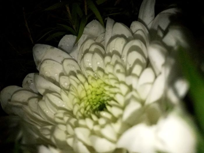 Rose 🌹 EyeEmNewHere Rose - Flower Freshness Flower Selective Focus Close-up Nature No People Fragility Beauty In Nature Night Flower Head