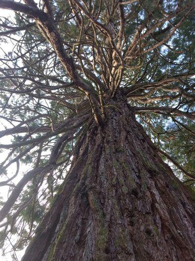Giant Séquoia