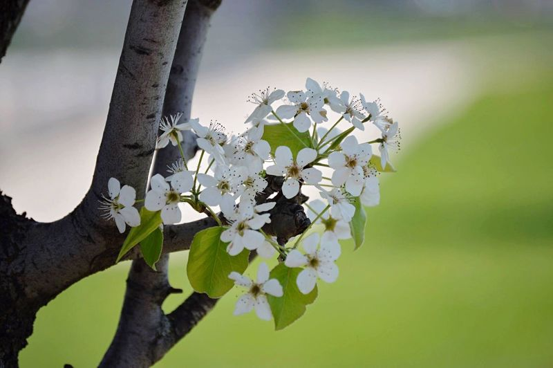 Flower Nature Beauty In Nature Tree Petal Blossom Close-up White Color Flower Head Day Plant Outdoors Growth 2017