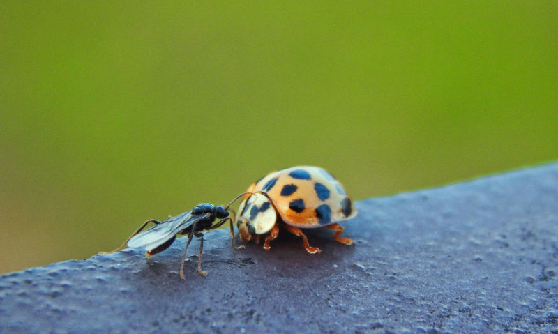 Animal Themes Beauty In Nature Close-up Fight Focus On Foreground Insect Ladybug Selective Focus Tranquility Wildlife