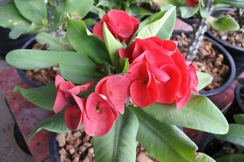 Poy Sian Flower Close-up Growth Plant Part Freshness Plant Flower Beauty In Nature Petal Leaf Flowering Plant Red Inflorescence Flower Head Nature Day Outdoors