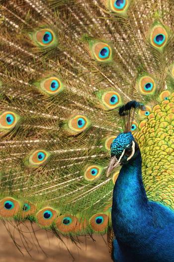 Beauty Outside Close-up Multi Colored Peafowl Peafowl Head Animal Themes Bird