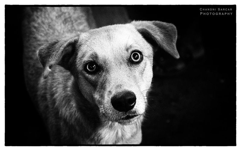 Those eyes .... Dogs India Peta Save The Nature Chandnisarcarphotography