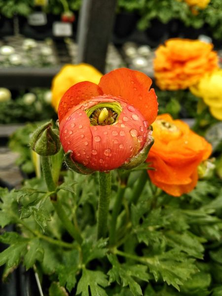 No People Leaves Focus On Foreground Close-up Plant Petal Nature Growth Freshness Flower Beauty In Nature Blooms Spring Flowers Tranquility Ranunculus Leaves Leaves And Flowers Cellphy