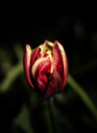 Close-up of red tulip