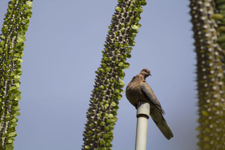 Low angle view of mourning dove perching on pole by plants against clear sky