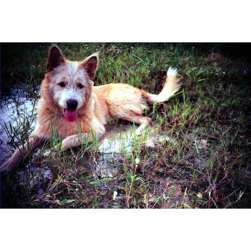 """"""" แบร่ !! """" Camera : LC-A Film : Fuji Superia X-Tra 400 Dog Thailand Afterzero LCA Filmphotography Filmisnotdead Ishootfilm Iusefilm Fujifilm Fuji Superia Film 35mm Analogue Buyfilmnotmegapixels"""