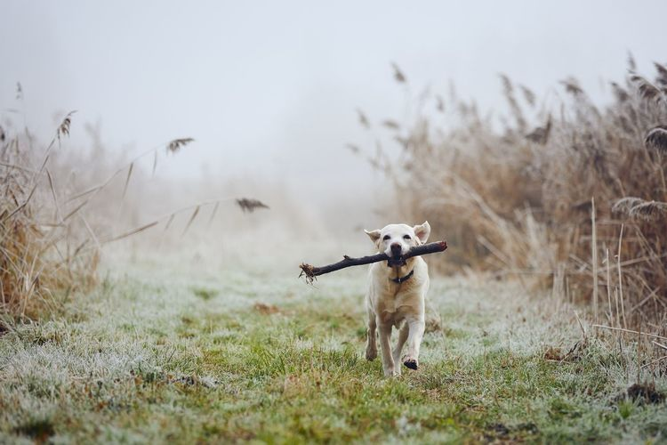 Dog running against autumn landscape in fog. cute labrador retriever carrying stick in mouth.