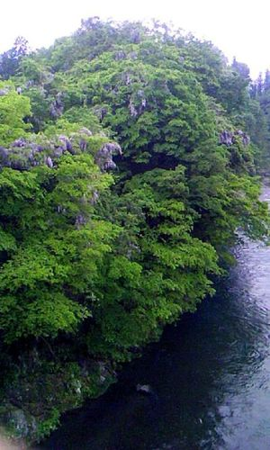 Beauty In Nature Day Green Green Color No People Non Urban Scene Purple Flowers River Tree Water Wisteria Flower 川 藤の花