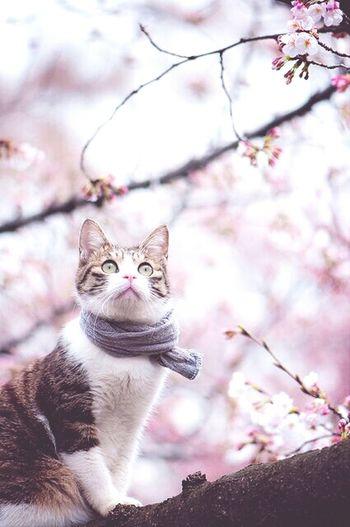 Cat Sakura Spring Flower SAKURA Cute